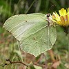 Brimstone (female)