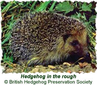 Hedgehog in the rough